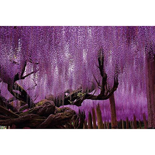 GREAT ART® Poster – Wisteria – Lila Blauregen Violette Blüten Landschaft Wald Natur Blumen Motiv Wisaria Blossom Flowers Garten Dekoration Wandbild Din A2 (42 x 59,4 cm)