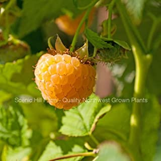 3 Potted Anne Golden Everbearing Raspberries Plants - Large and Sweet Berries