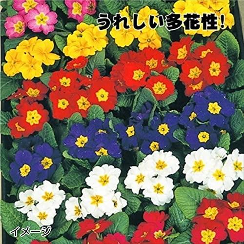国華園 ケース花苗 プリムラポリアンサミックス(無選別) 48株(2ケース) /21年秋商品