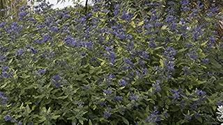 Sunshine Blue Caryopteris incana 'Jason' PPAF - Bluebeard - Proven Winners