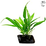 Luffy Coco Philippines Java Fern: Live Aquatic Plant with 10+ Leaves : Provides a Natural Environment for Your Fish: Easy Care: Hardy Plant with Longevity: Bring More Color to Your Aquascape