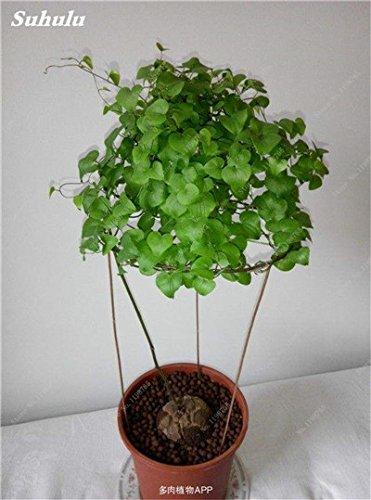 Nouveau ! 3 pièces Dioscorea semences, écaille de tortue Dioscorea Elephantipes Bonsai Jardin plante grimpante Plante vivace Feuilles 10