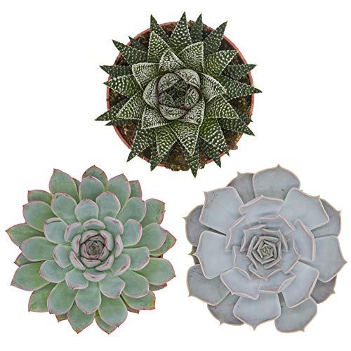 Pasiora Sukkulenten Mix im 10,5cm Topf, verschiedene mittelgroße Pflanzen, Geschenkset (3 Stück)