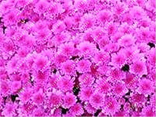 100pcs/bag Ground-cover chrysanthemum seeds, chrysanthemum perennial bonsai flower seeds daisy potted plant for home garden 9
