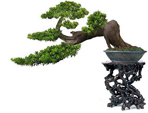 Pas chers Plantes Bonsai Magical Ancient Feuillage, jaune d'or en pot, Ginkgo Biloba Graines 5 Piece
