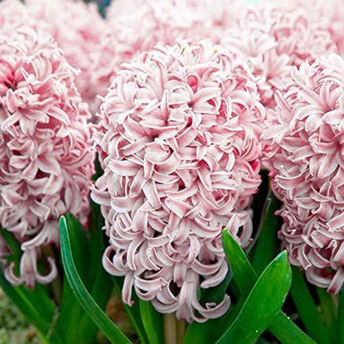 P12cheng Samenpflanze 300 Stück/Beutel Hyazinthe Samen, umweltfreundlich, einfach zu pflanzen, frische Hyazinthe Blumensamen für Zuhause – Rosa Hyazinthe Samen