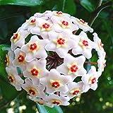 egbert 20pcs/pack hoya semi in vaso semi hoya carnosa fiore seme piante da giardino - 06