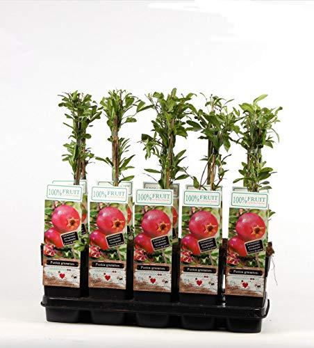 Blumen Senf Punica granatum 60-70 cm Granatapfel