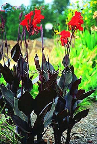Shopmeeko 10 Stück Canna Pflanzen Schöne Blume Pflanzen Mix Indica Lilie Pflanzen Garten Lampen Blumen Outdoor Topf Bonsai Flores. Hauptgeschenk: Brown
