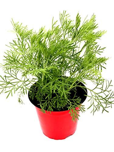 Cola Kraut Artemisia abrotanum var. maritima Kräuter Pflanzen 4Stk.