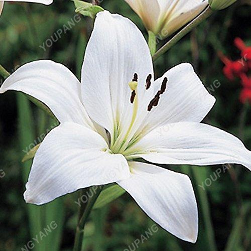 100/sac blanc péruvien Lily Graines péruvienne Lily Mix (Alstroemeria) Graines de fleurs vivaces pure pour les plantes Bonsai pour jardin vert