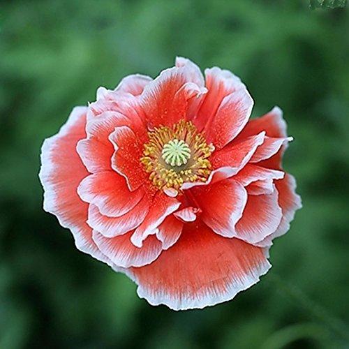 RARE graines de pavot Islande Couleurs mélangées Couper Graines de fleurs bricolage jardin Plantes 200 particules / lot