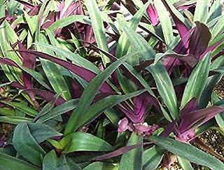 """オーガニック種子:5ムラサキツユクサ属のspathacea 6"""" オイスターリリー、オイスター、Farmerlyによって根を持ちます"""