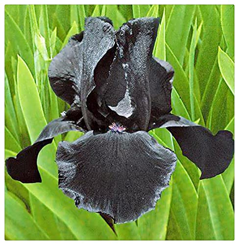 Iris Rhizom, Irisknollen, Einfach in vier Jahreszeiten zu kultivieren, Die Blumen sind kostbar und wunderschön, Kälte- und trockenheitsresistent, Balkon eingetopft-3 Knolle,1