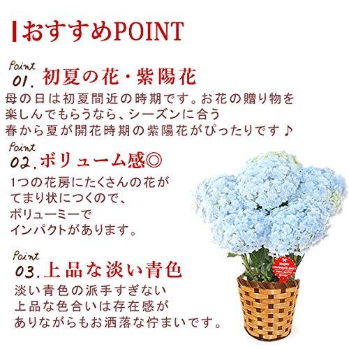 母の日のプレゼントあじさい5号鉢おいもやケーキ洋菓子花とスイーツ花鉢生花母の日ギフト(てまりてまり・ブルー)