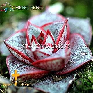 Kucus - 10pcs Crassula Capitella Thyrsiflora Red Pagoda Succulent Cactus Bonsai Jatropha Tree Herbs Plants Bonsai Mini Pot pi - (Color: Yellow)