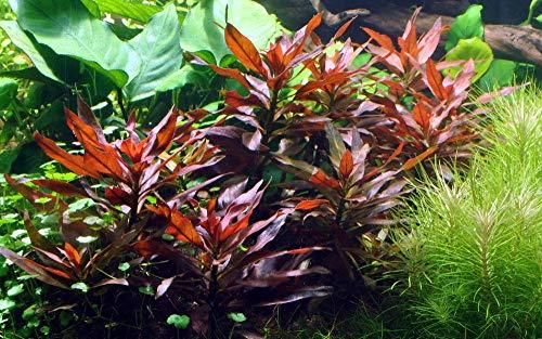 Tropica Aquarium Pflanze Ludwigia glandulosa Nr.035A Wasserpflanzen Aquarium Aquariumpflanzen