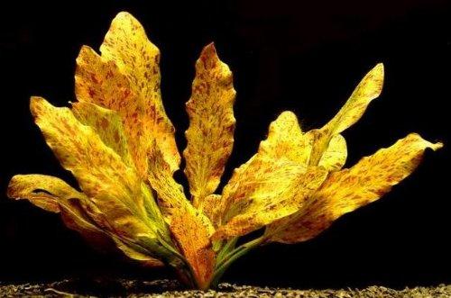 WFW wasserflora Rot getüpfelte Schwertpflanze/Echinodorus ozelot rot