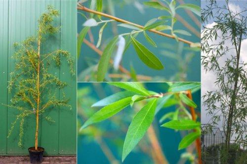 Salix alba Tristis - Trauerweide-Hängeweide