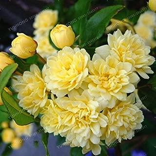 murraya paniculata bonsai
