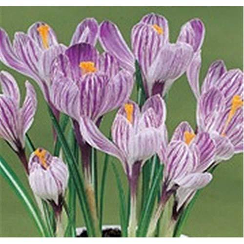 Crocus vernus \'Pickwick\', Frühlings-Krokus lila-weiss - im Topf 9 cm vorgetrieben, in Gärtnerqualität von Blumen Eber - 9 cm