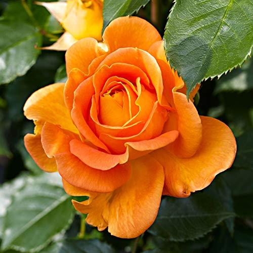 Rosa Jamie |Rosa rampicante |Pianta rampicante con fiori darancio |Altezza di consegna ca.40 centimetri