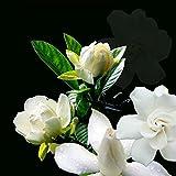 Rosepoem Semillas de germinación Jazmín Gardenia...