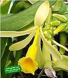 BALDUR Garten Echte Vanille Pflanze, 1 Topf Vanilla planifolia, Orchidee Zimmerpflanze -
