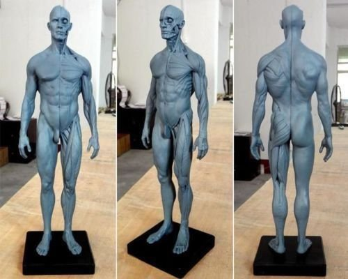 Anatomisches Körpermodell, Schädel, Körper, Muskeln, Knochen, 30 cm hoch, TT Dental