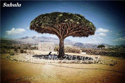 Livraison gratuite 10 Pcs rares Dracaena arbre alpiste Tree Island sang (Dracaena draco) Jardin des plantes voyantes, exotiques 15 Diy