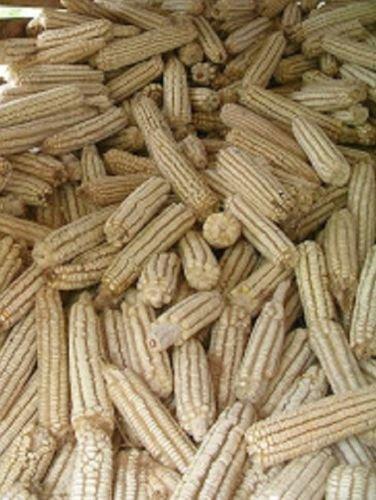 Heirloom HICKORY KING BLANC MAÏS OGM non 100 graines de maïs sucré si récolte précoce