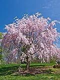 Weeping Cherry Tree, Live Weeping Japanese Cherry Tree, Prunus Yeodensis Shidare Yoshino, in a 3' Pot 6-12' in Height, No Shipping to Arizona and California.