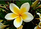 50 semillas Semillas Inicio Jardín Frangipani Plumeria rubra Lei flor de huevo