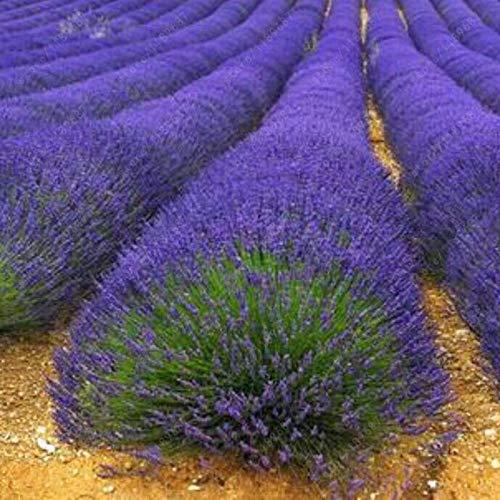 Promworld Balkonkasten Samen,Lavendelsamen-200 Kapseln_Englischer Lavendel,Samen für Balkon/Garten