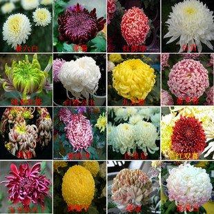 100pcs Bonsai Samen saisonale Blumen Chrysantheme Samen Daisy Saatgutqualität Samen Heim & Garten