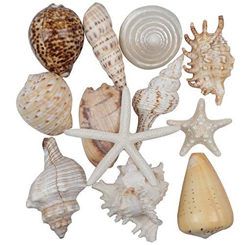 12 Piezas Grandes Conchas Marinas Mixtas Estrella de mar oceánica, Conchas de mar Naturales Estrellas de mar de hasta 16 cm,Conchas Manualidades de Bricolaje decoración de peceras