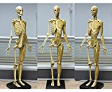 LBYLYH Modelo anatómico de Esqueletos musculares Humanos - 23.6 Pulgadas Figura de anatomía Femenina - Modelo anatómico del Esqueleto Muscular Humano - Material PU - Referencia