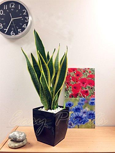 1 Mère en Law Langue de serpent Bonne Chance pour plantes en noir laqué Milano Pot de fleurs carré, 55?65 cm de haut