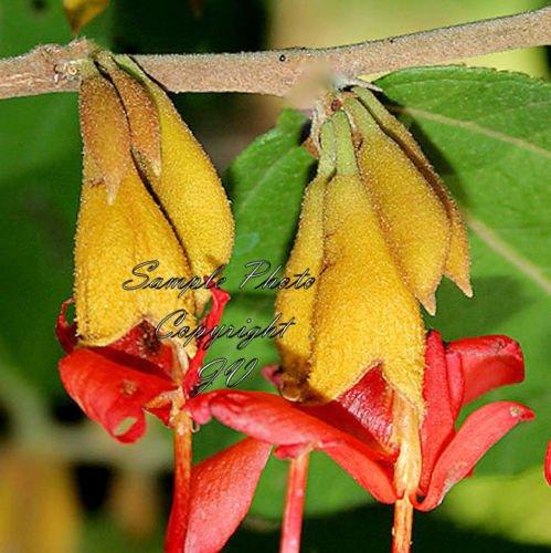 Graines Indian Vis arbre rare Helicteres Isora Rare ornement Bonsai Tropical (10 graines)