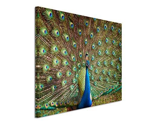Paul Sinus Art Fotoleinwand 90x60cm Tierfotografie – Bunter Pfau auf Leinwand Exklusives Wandbild Moderne Fotografie für ihre Wand in vielen Größen