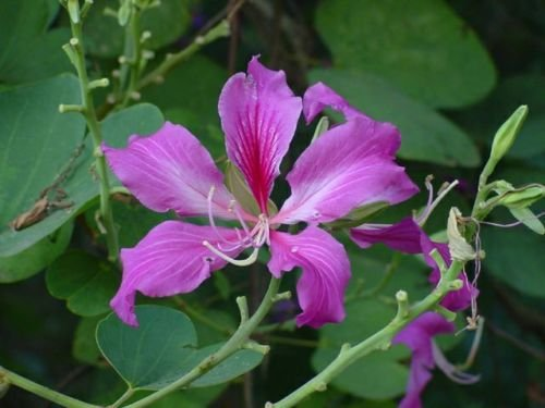 5 Purple Orchid arbre Graines - Bauhinia purpurea Floraison