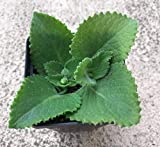 2 Cuban Oregano Well Rooted Plants 7 To 10 Inches