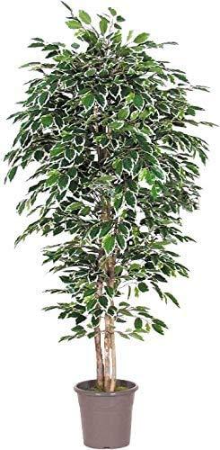 NewGreen Ficus Lusso Variegato – Árbol artificial de decoración interior con troncos reales – Altura 175 cm