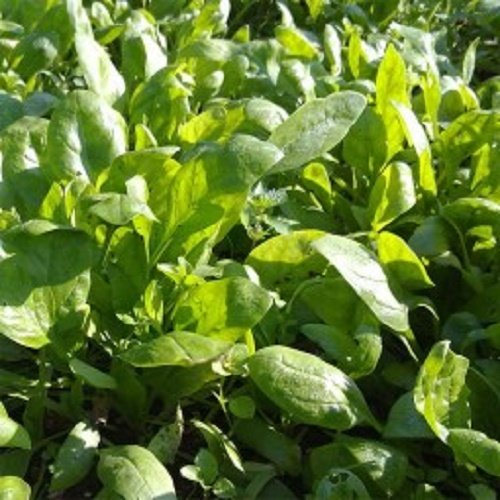 20 graines semences feuilles epinard a graines piquantes potager