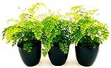 CAPELVENERE, 3 PIANTE VASO 13CM, piante vere