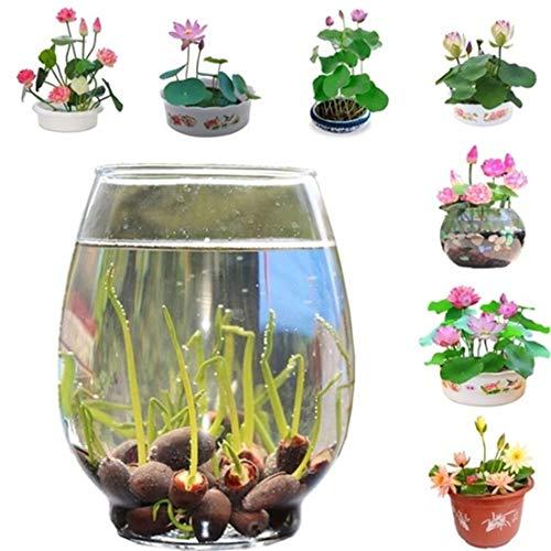 10 pcs/Bag Bonsai Flower Lotus Flower for Summer 100% Real Bowl Lotus pots Bonsai Garden Plants (Random Color Expect Surprise)