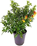 Jacobina Jajobine Justicia rizzinii - seltene brasilianische Fuchsie - wunderschöne Zierpflanze mit zweifarbigen Blüten - ebenso für Balkon und Terrasse geeignet