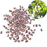 Raccolta di semi di Robinia pseudoacacia, semi di acacia di cartamo, robinia, semi di acacia, 300 semi