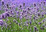 100 - semi: semi di lavanda - così bella e con una fragranza da capogiro !! facile da coltivare!