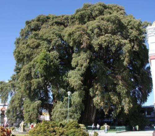 vegherb Mexikanische Sumpfzypresse (huegelii) Montezuma Cypress Samen!